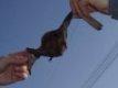 Kolízia netopiera s elektrickým vedením